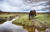 New Forest Pony — Stock Photo
