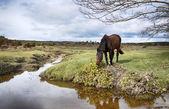 New Forest Pony — Stock Photo