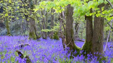 Bluebell Woods — Stock Video