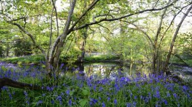 Pond in Bluebell Woods — Stock Video