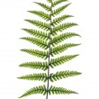 Fern Frond — Stock Photo #25418343