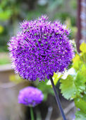 Alium — Stock Photo