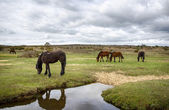 New Forest Ponies — Stock Photo