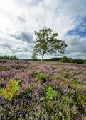 New Forest Heather — Stock Photo