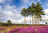 Forest and Heather — Stock Photo