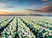 Daffodil Fields — Stock Photo