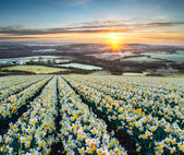 Daffodil Fields — Stockfoto