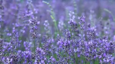 Lavender fields — Stock Video