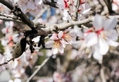 Spring flowers, beautiful almond tree blooming  — Stock Photo