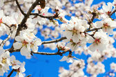 Spring flowers, beautiful almond blossoms, blue sky  — Stock Photo