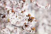 Beautiful spring flowers cherry blossoms in garden outdor — Stock Photo