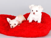 Cute little dogs. Adorable Chihuahua puppys on fluffy carpet — Foto de Stock