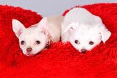 Cute little dogs. Adorable Chihuahua puppys on fluffy red carpet — Foto de Stock