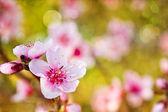 Pink cherry flowers — Stock Photo