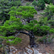 Stock Photo: Little pine-tree in moutains of Crimea
