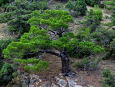Little pine-tree in the moutains of Crimea — Stock Photo