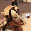 A camel drinks water from a bottle — Stock Photo