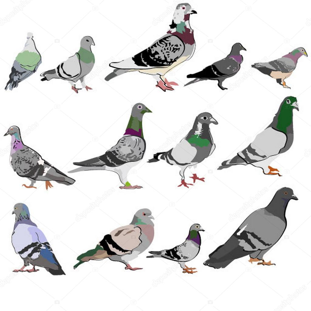 Pigeon illustration - photo#46