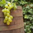 Royalty-Free Stock Photo: Wine barrel and grape vine
