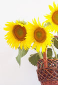Sunflower in the basket. — Stock Photo