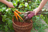 Freshly Picked Beetroot and Carrots. — Stock Photo
