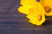 Yellow daisy — Stock Photo