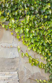 Background of old wall with ivy bushes — Stock Photo