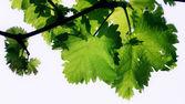 Grape vine leafs on a white background — Stock Photo