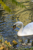 A swan — Stock Photo