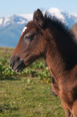 Brown foal — Stock Photo