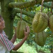 In the durian plantation — Stock Photo