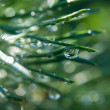 Tears on pine needles — 图库照片