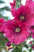 Rosa malva — Foto de Stock