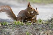 Squirrel with its joey — Stock Photo