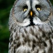 Siberian gray owl - Stock Photo