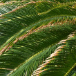 Stock Photo: Palm leaves background