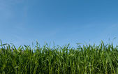 Lush green grass and a blue sky — Stock Photo