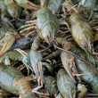 Crawfishes - Stock Photo