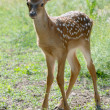 Stock Photo: Pretty fawn