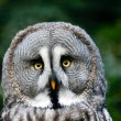 Royalty-Free Stock Photo: Head of siberian gray owl
