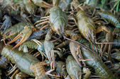 Crawfishes — Stock Photo