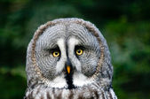 Head of siberian gray owl — Stock Photo