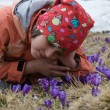 Contemplation of violet crocuses — Stock Photo #19423143