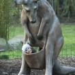 Girl and kangaroo — Stock Photo #19423429