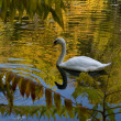 Swan on the golden lake — Stock Photo