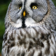 Siberian gray owl — Stock Photo