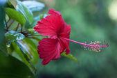 Roter hibiskus — Stockfoto