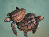 Two turtlets — Stock Photo