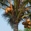 Coconuts Hanging on Palm Tree — Stock Photo