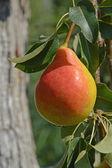 Ruddy pear — Stock Photo